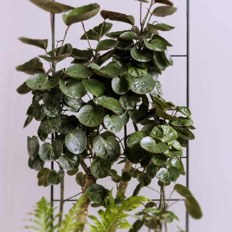 Hopea-aralia Polyscias scutellaria Kekkilä