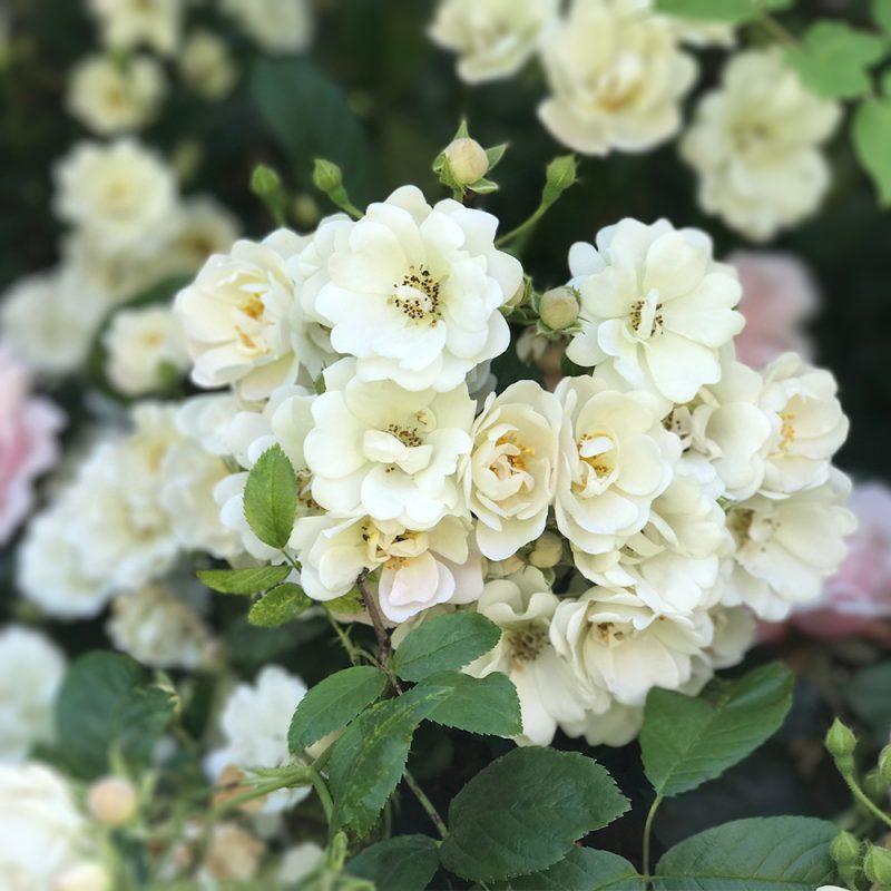 Hunajaruusu Rosa helenae 'Lykkefund', 'Bienenweide rot' Kekkilä