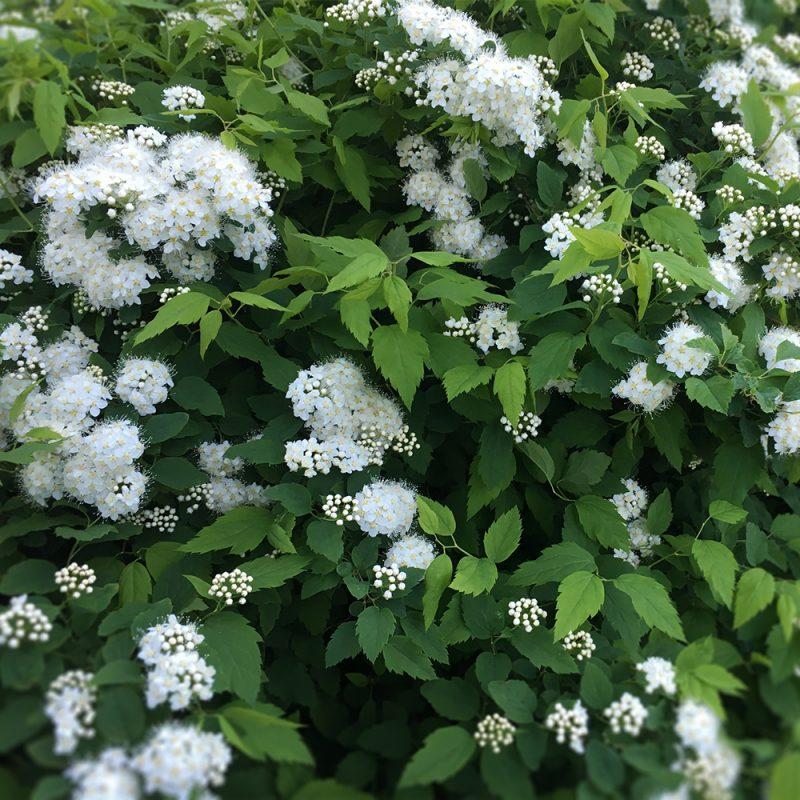 Idänvirpiangervi Spiraea chamaedryfolia