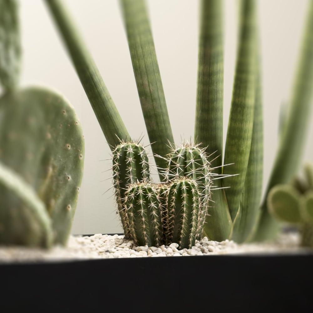 Jättipilarikaktus pachycereus pringlei Kekkilä