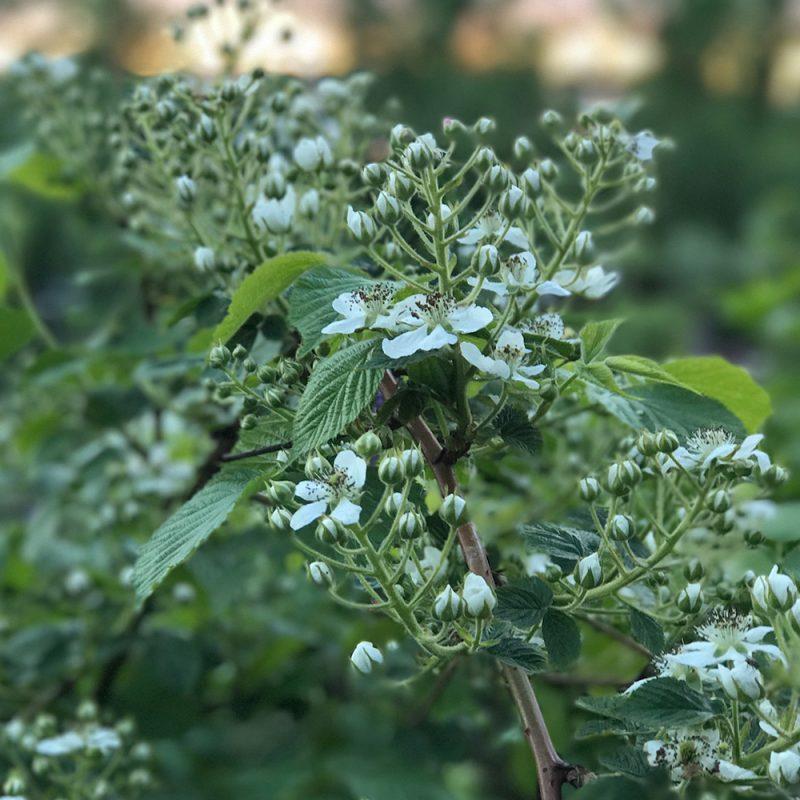 Karhunvatukka mustavadelma Rubus allegheniensis Kekkilä