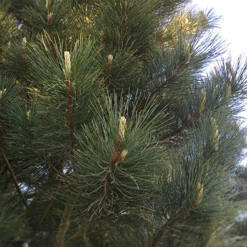 Siperiansembra Pinus cembra Kekkilä