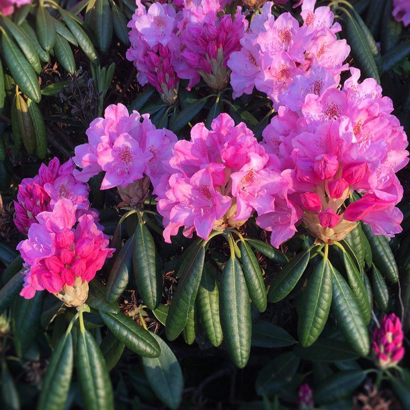 Marjatanalppiruusu 'Haaga' Rhododendron Kekkilä