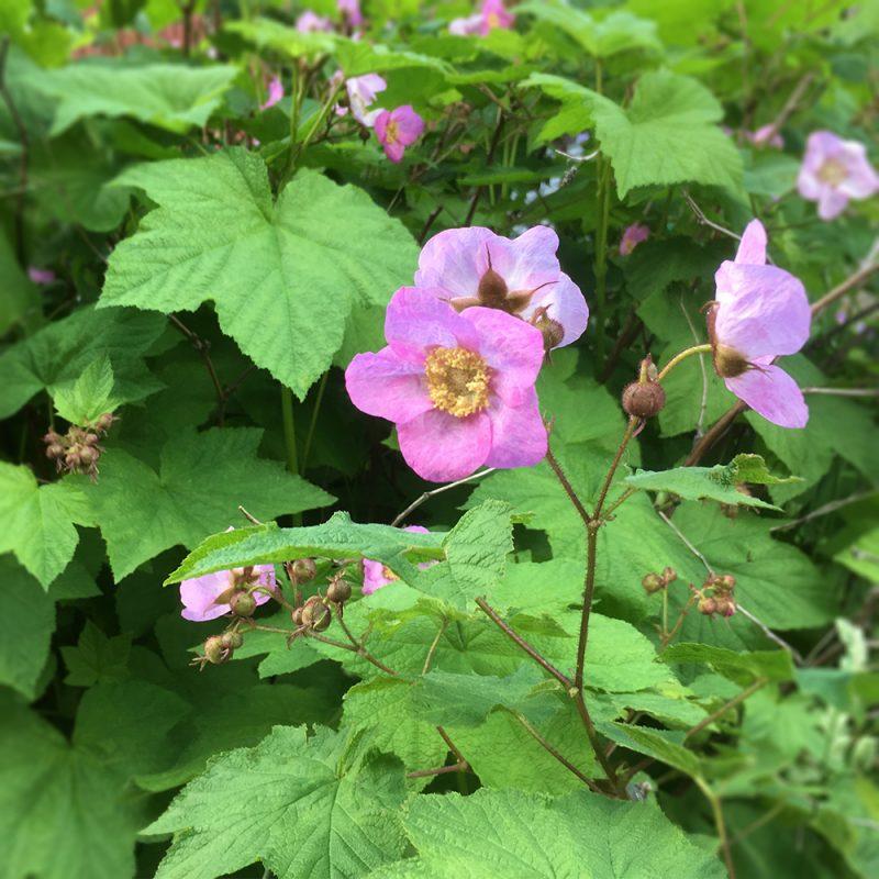 Tuoksuvatukka Rubus odoratus Kekkilä
