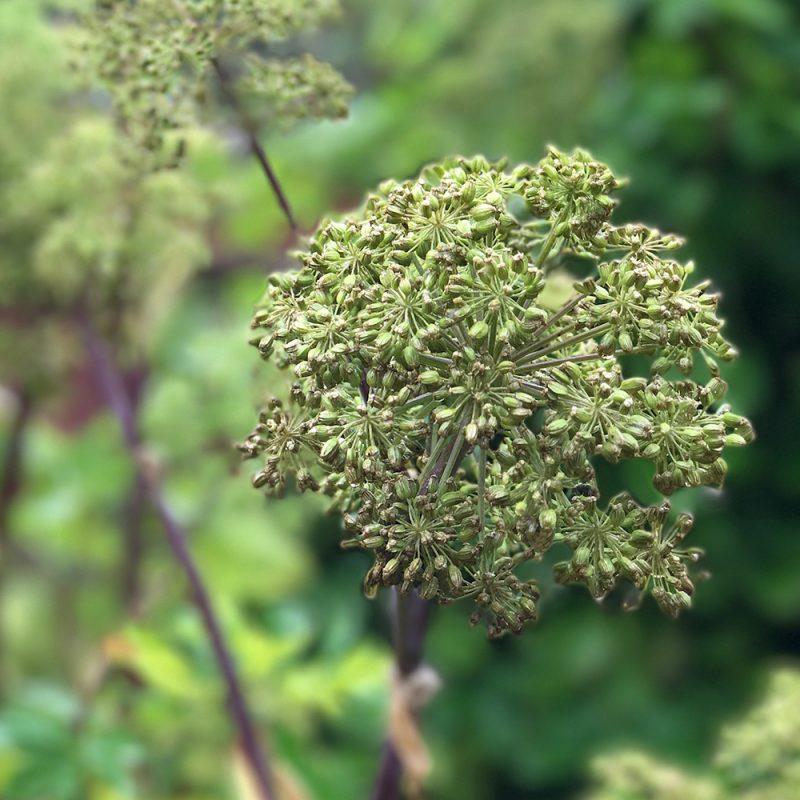 Väinönputki Angelica archangelica Kekkilä