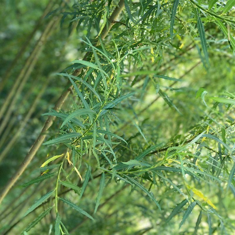 Koripaju Salix viminalis Kekkilä