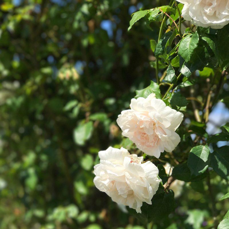Köynnösruusu Rosa 'New Dawn' Kekkilä