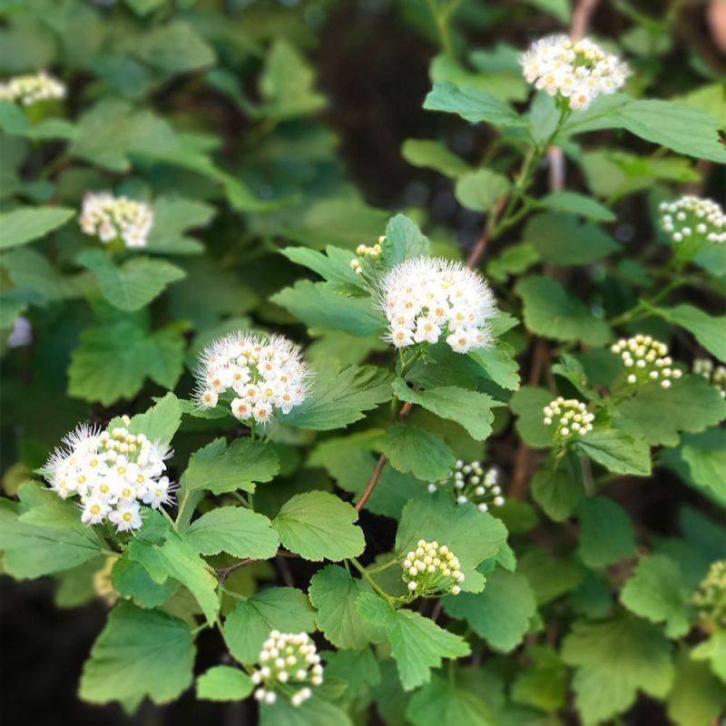 Lännenheisiangervo Physocarpus opulifolius Kekkilä