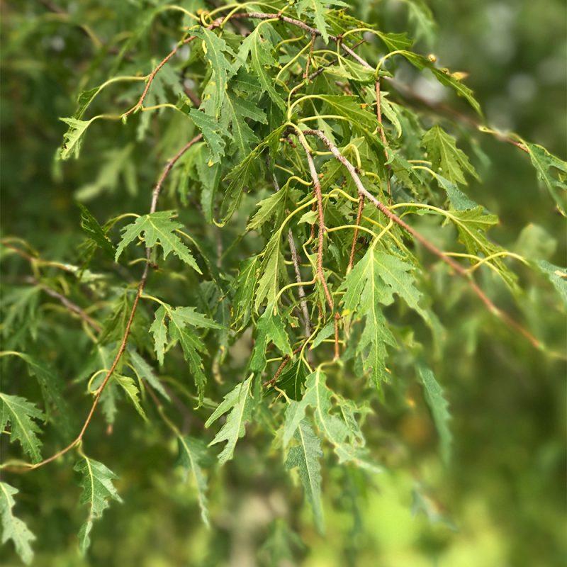 Loimaankoivu Betula pendula f. crispa Kekkilä
