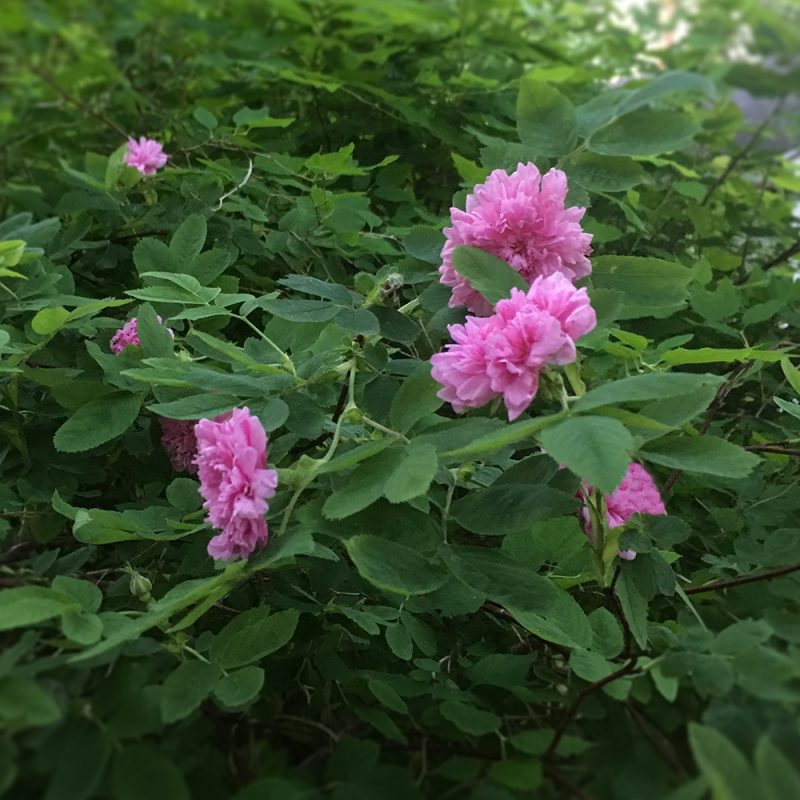 Mökinruusu Rosa majalis 'Foecundissima'