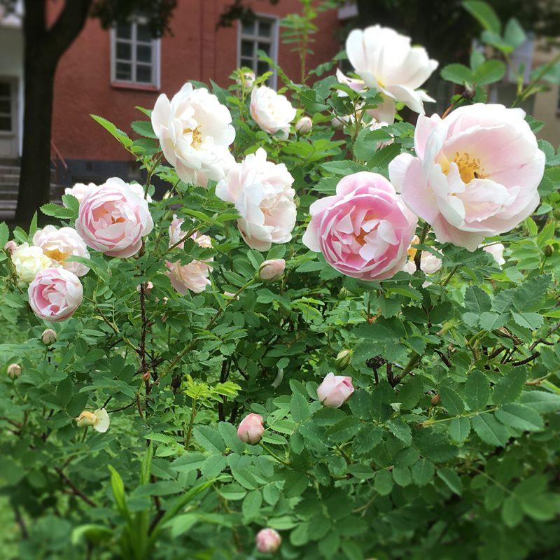 Morsionruusu Rosa 'Juhannusmorsian'