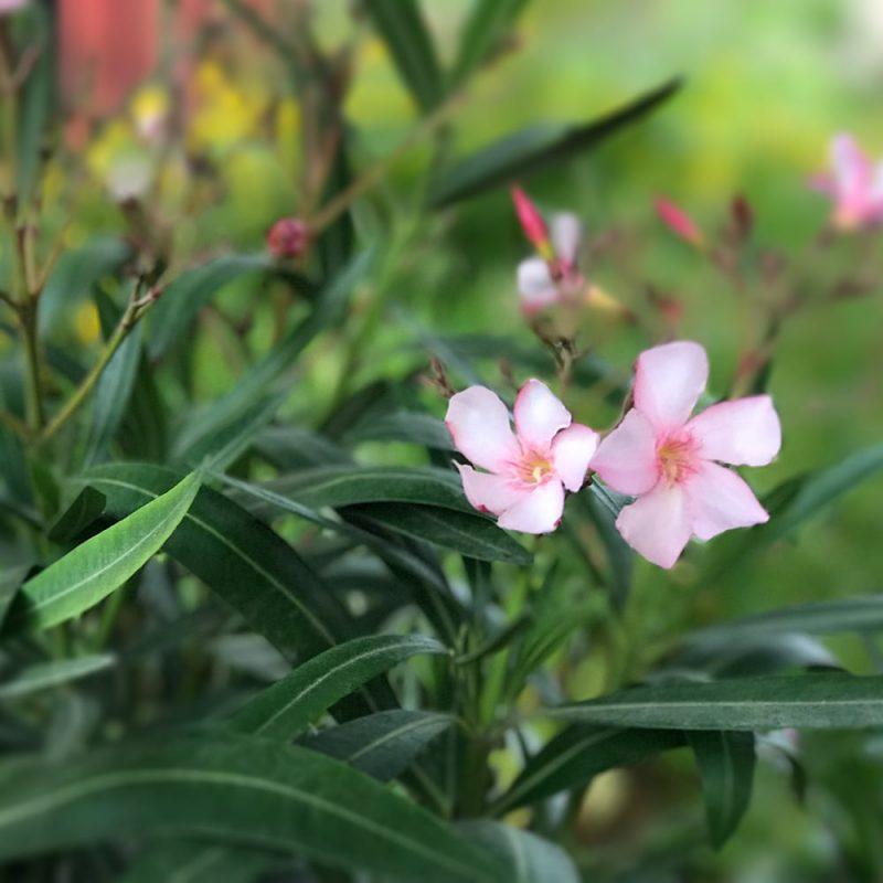 Oleanteri Nerium oleander Kekkilä