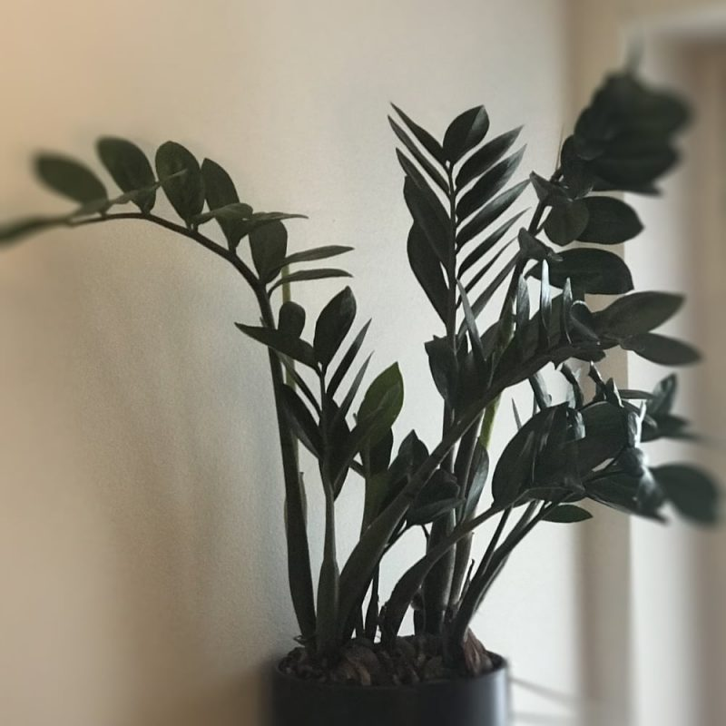 Palmuvehka Zamioculcas zamiifolia Kekkilä