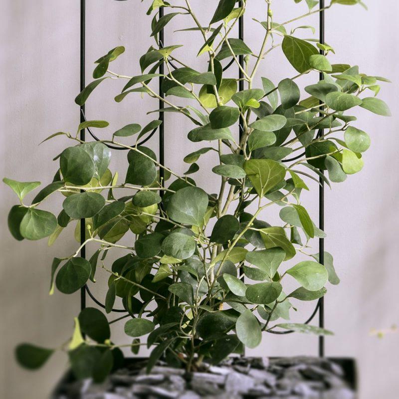 Pilleriviikuna Ficus deltoidea Kekkilä