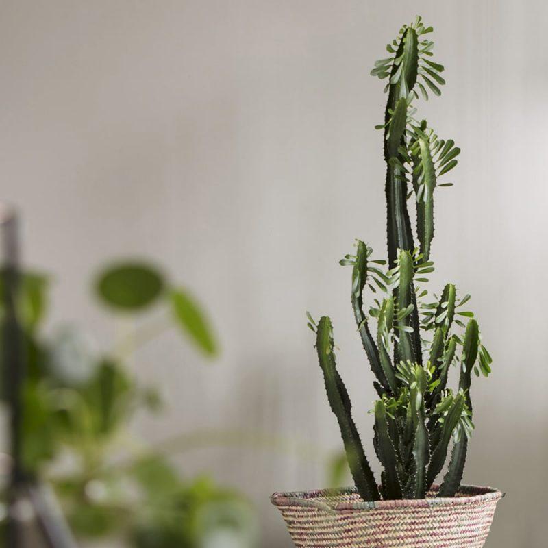 Pylvästyräkki Euphorbia trigona Kekkilä