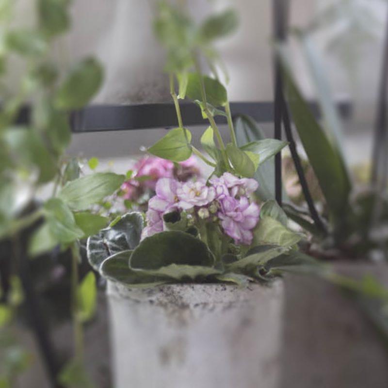 Saintpaulia Saintpaulia ionantha vaaleanpun Kekkilä