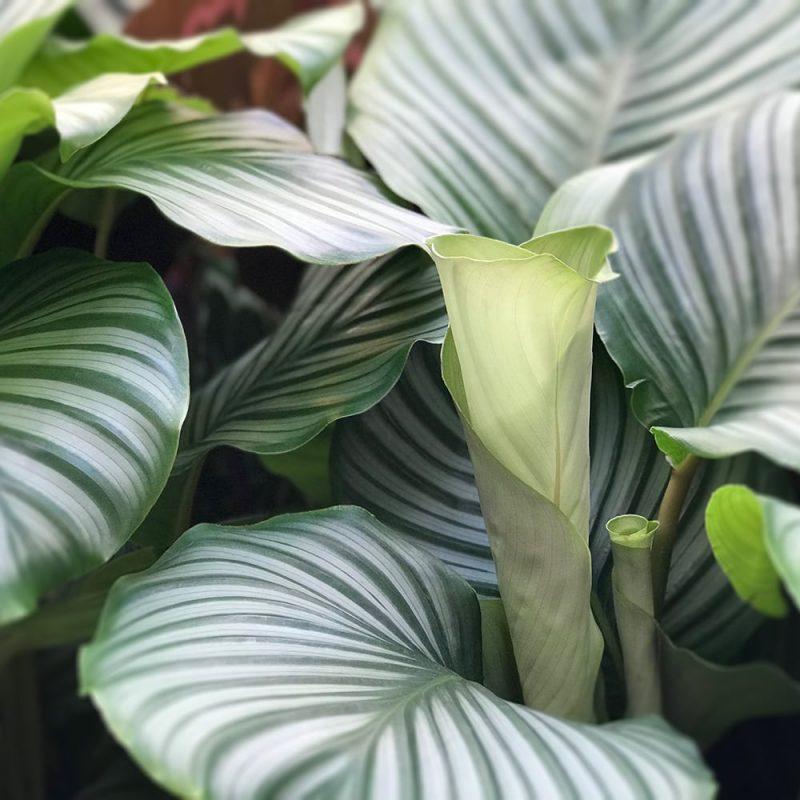 Silkkimaija Calathea orbifolia Kekkilä