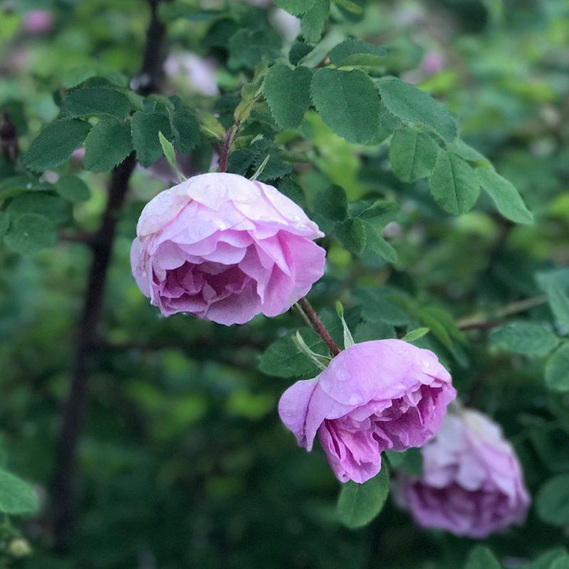 Suviruusu Rosa 'Poppius