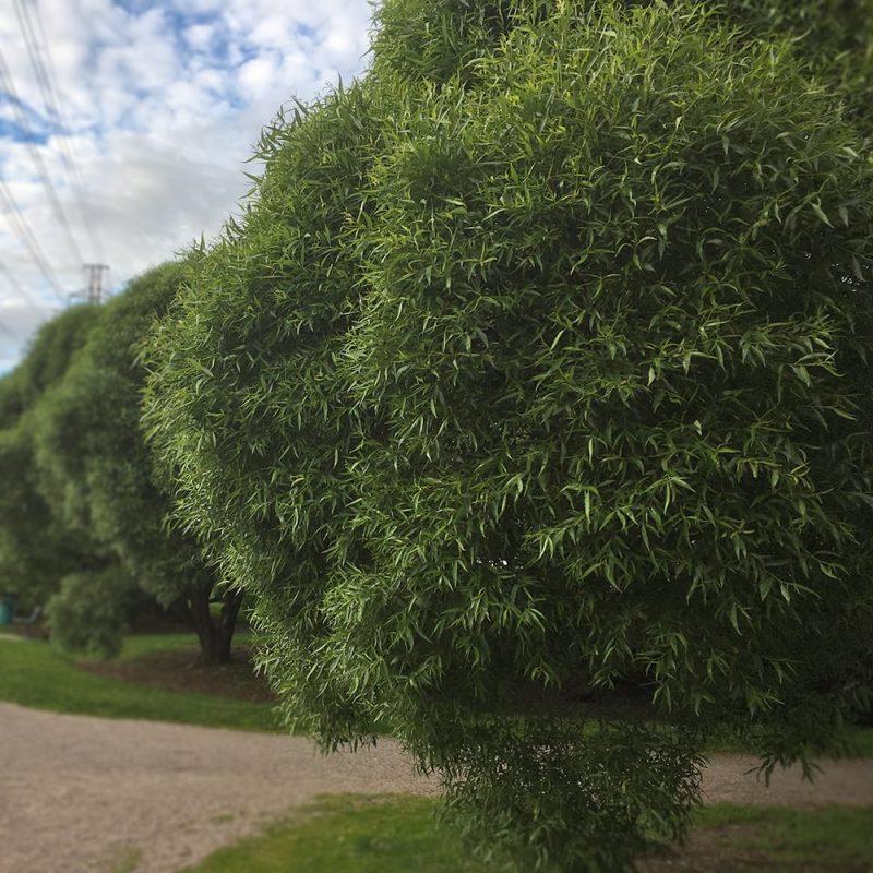 Terijoensalava Salix fragilis 'Bullata' Kekkilä