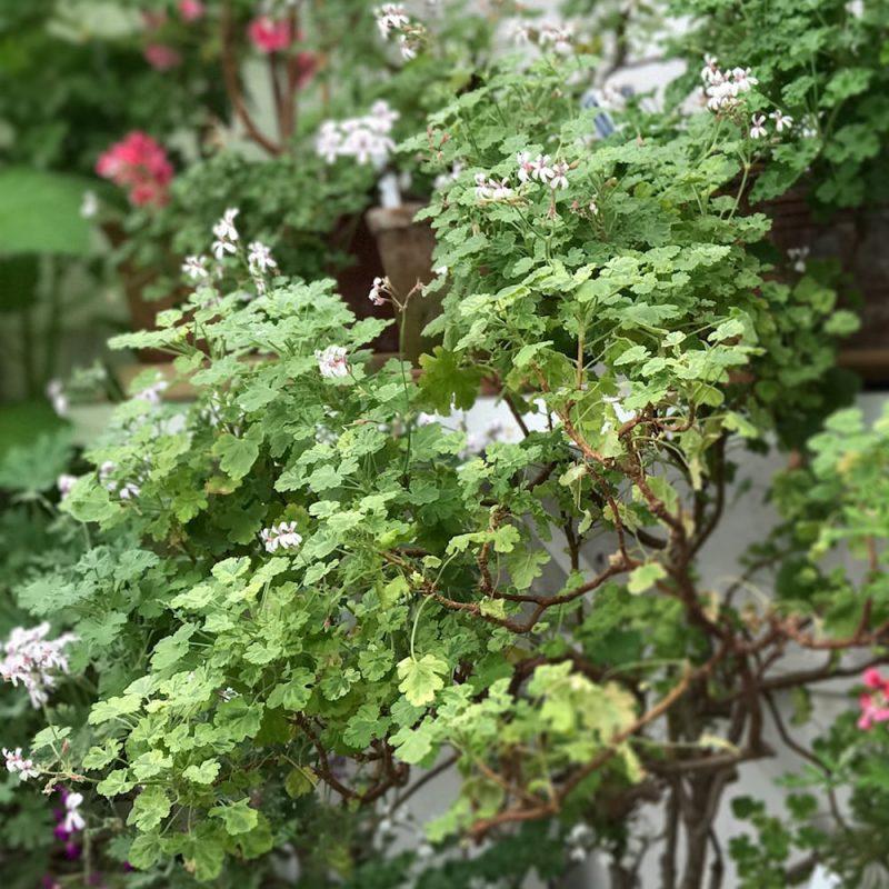 Tuoksupelargonit Pelargonium x fragrans Kekkilä