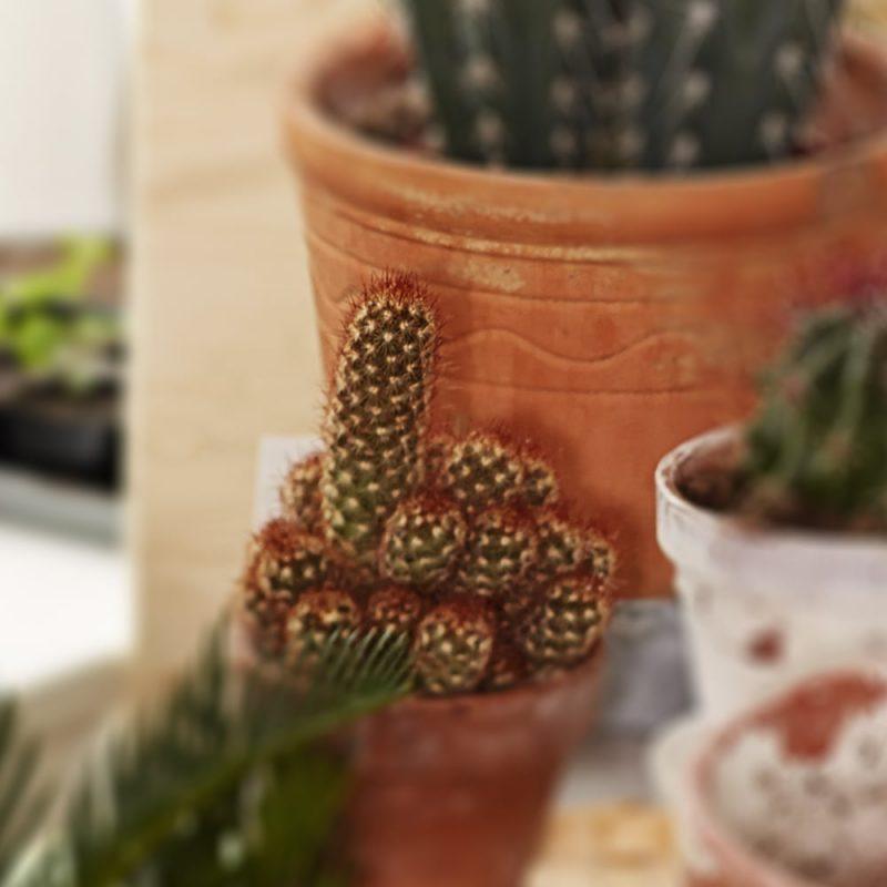 Seppelsyyläkaktus Mammillaria elongata Kekkilä