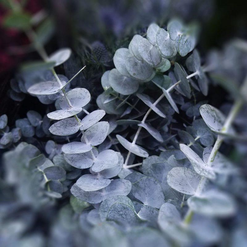 hopeaeukalyptus Eucalyptus gunnii Kekkilä