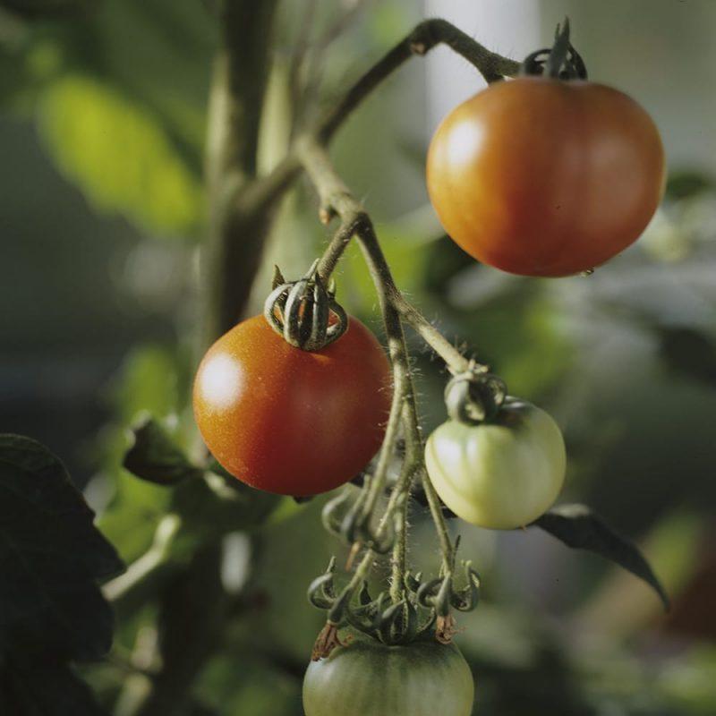 Kekkilä tomaattimulta tomaatit