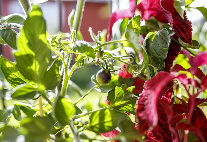 Musta tomaatti ja isokirjopeippi viihtyvät samassa laatikossa 800x550x