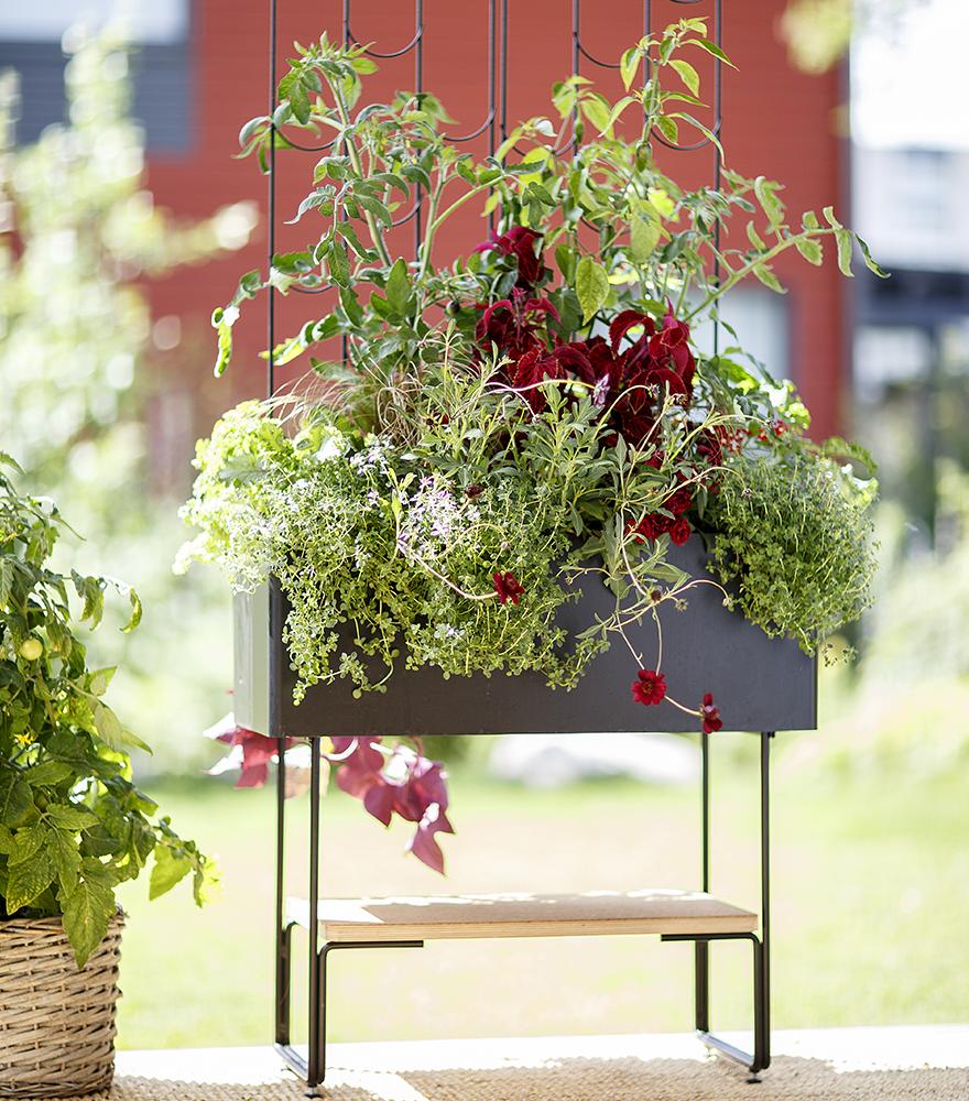 Viherlaatikossa kasvavat mustat tomaatit tuetaan Vihertuki Laineen avulla 880x1000x