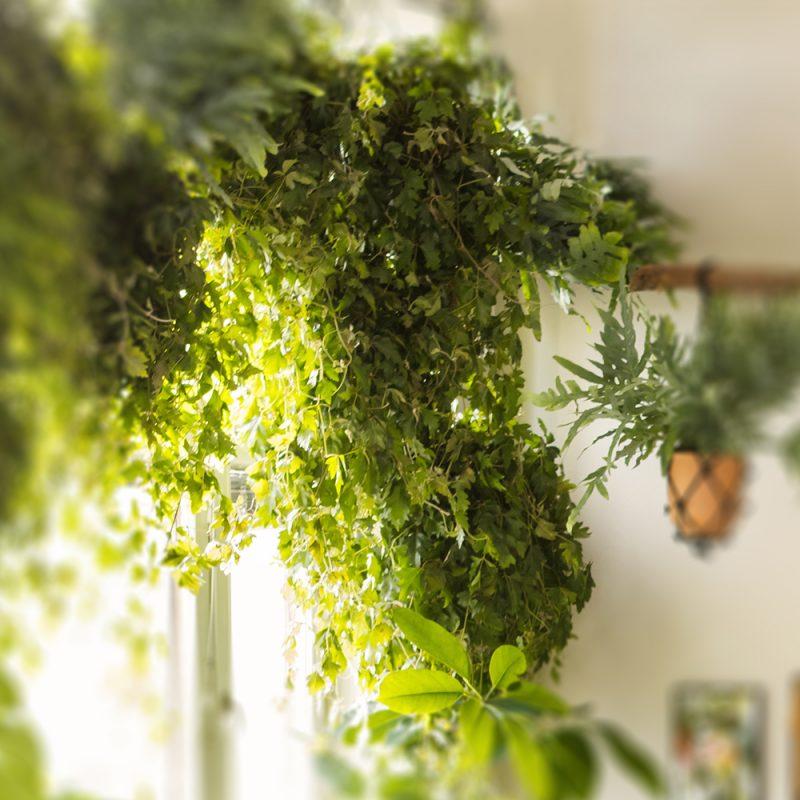 Ellinkissus Cissus rhombifolia 'Ellen Danica'