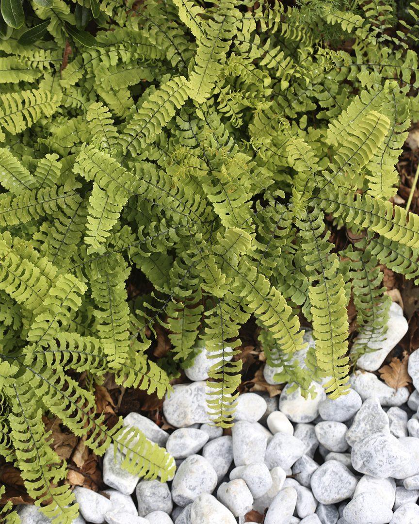 Puutarhatrendejä maailmalta Saniaiset ovat jo muutaman vuoden ajan nostaneet suosiotaan. Ne kuuluvat nyt ehdottomasti lehtiperennojen kärkikaartiin Kekkilä