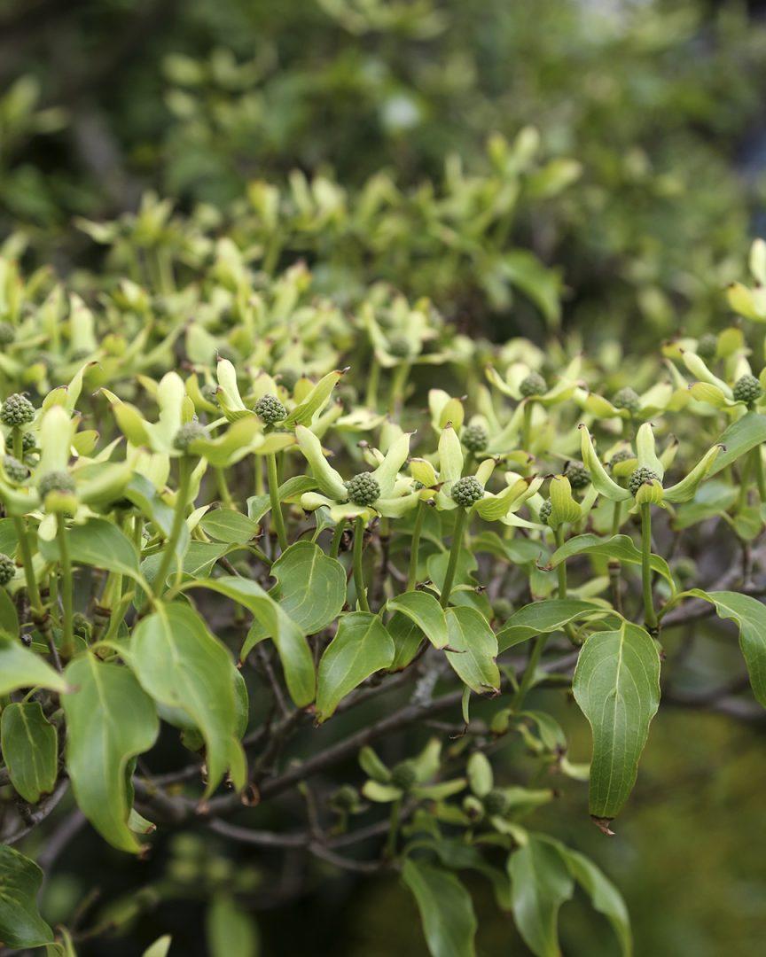 Puutarhan trendejä maailmalta. Puumaiset lännenkukkakanukat Cornus florida ja liljakanukat Cornus kousa ihastuttivat Chelsean istutuksissa Kekkilä
