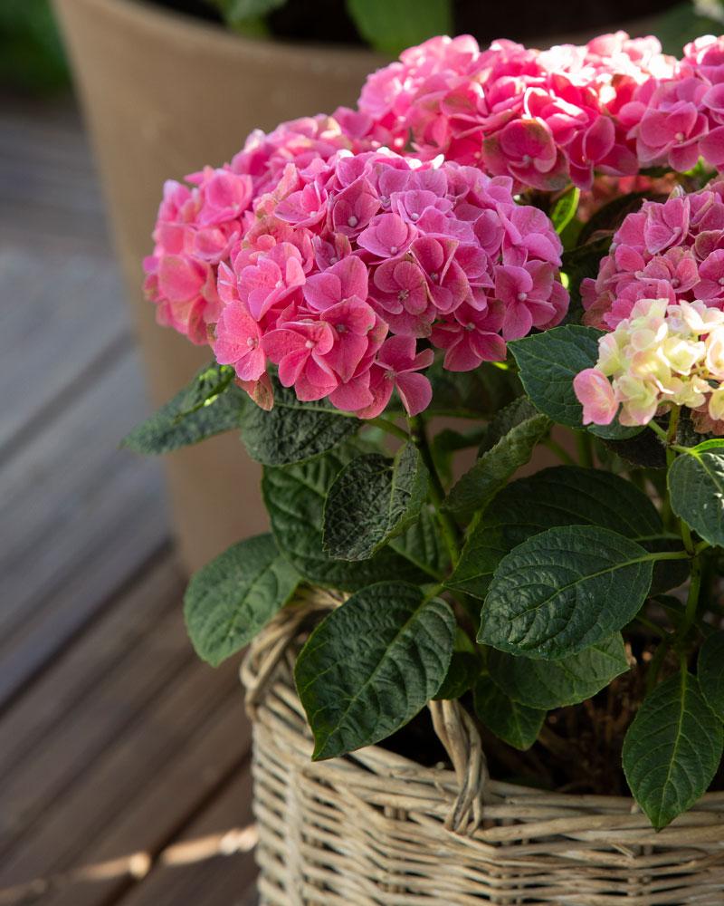 Kekkilä hortensiamulta näin hoidat hortensiaa