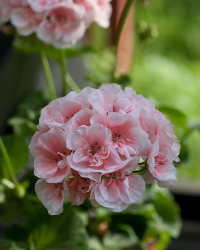 ideoita istutukseen hempeää roosaa pelargonimulta