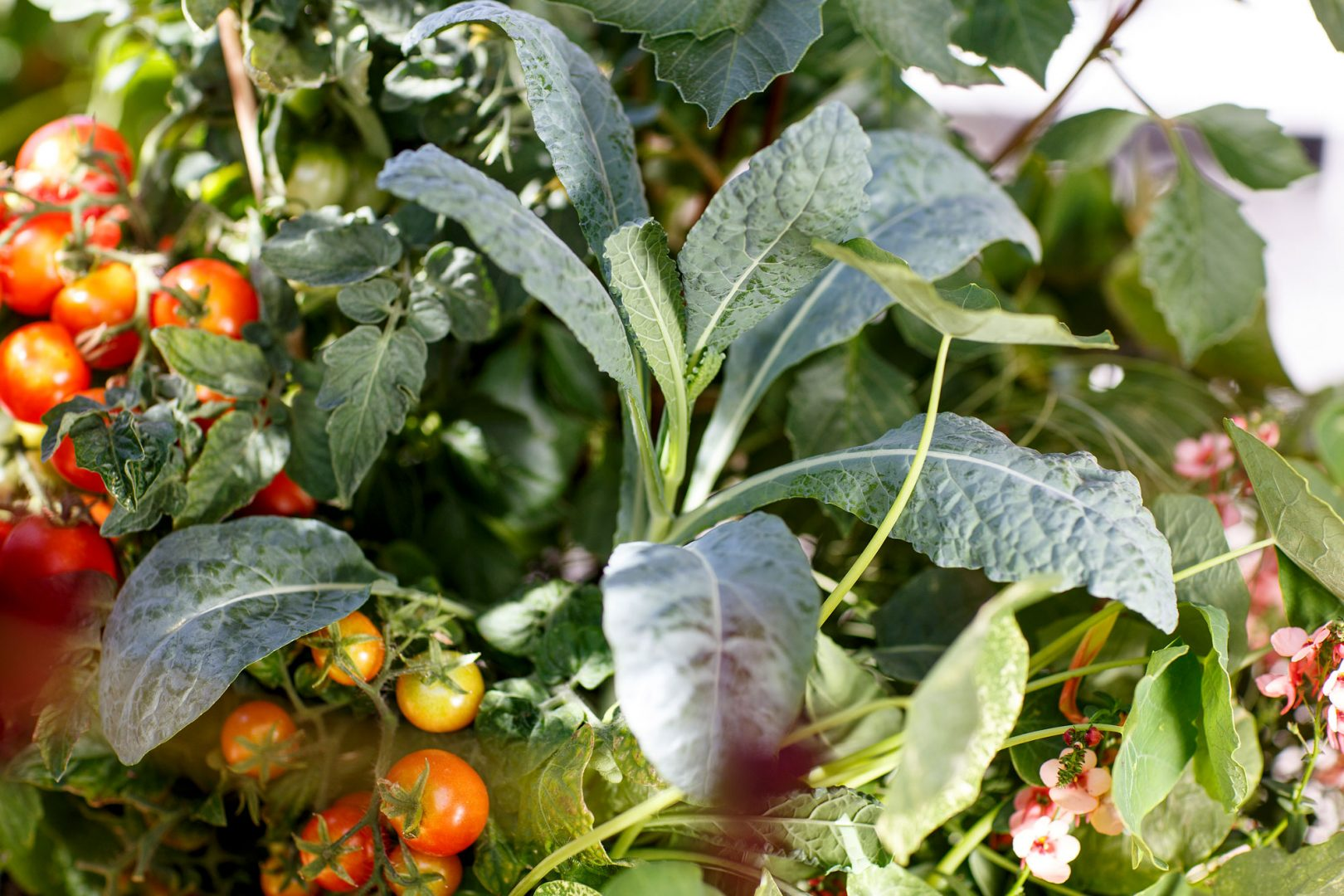 Kekkilä tomaattien kasvatus kasvimaa puutarhassa
