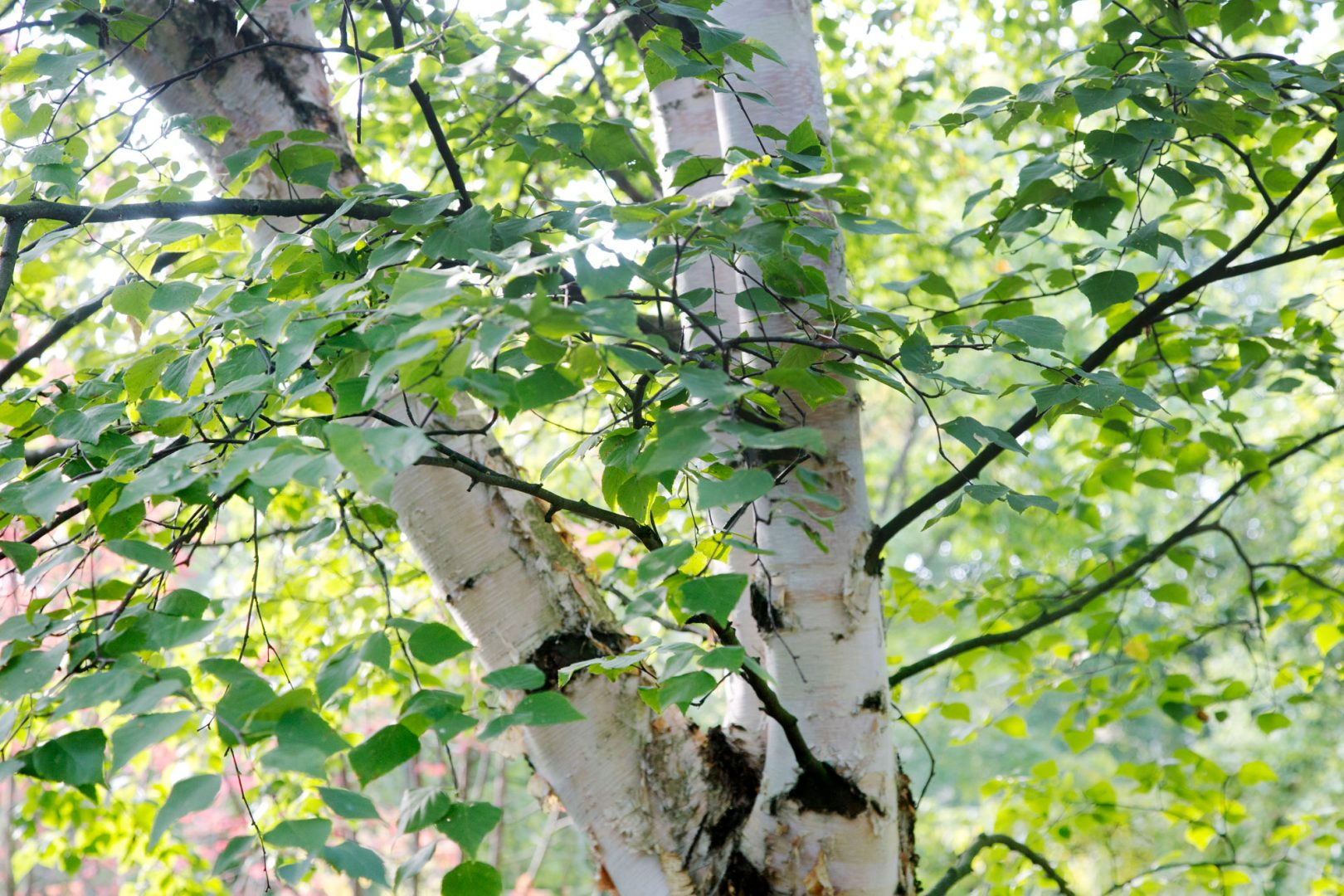 Kekkilä trendiraportti puut koivu