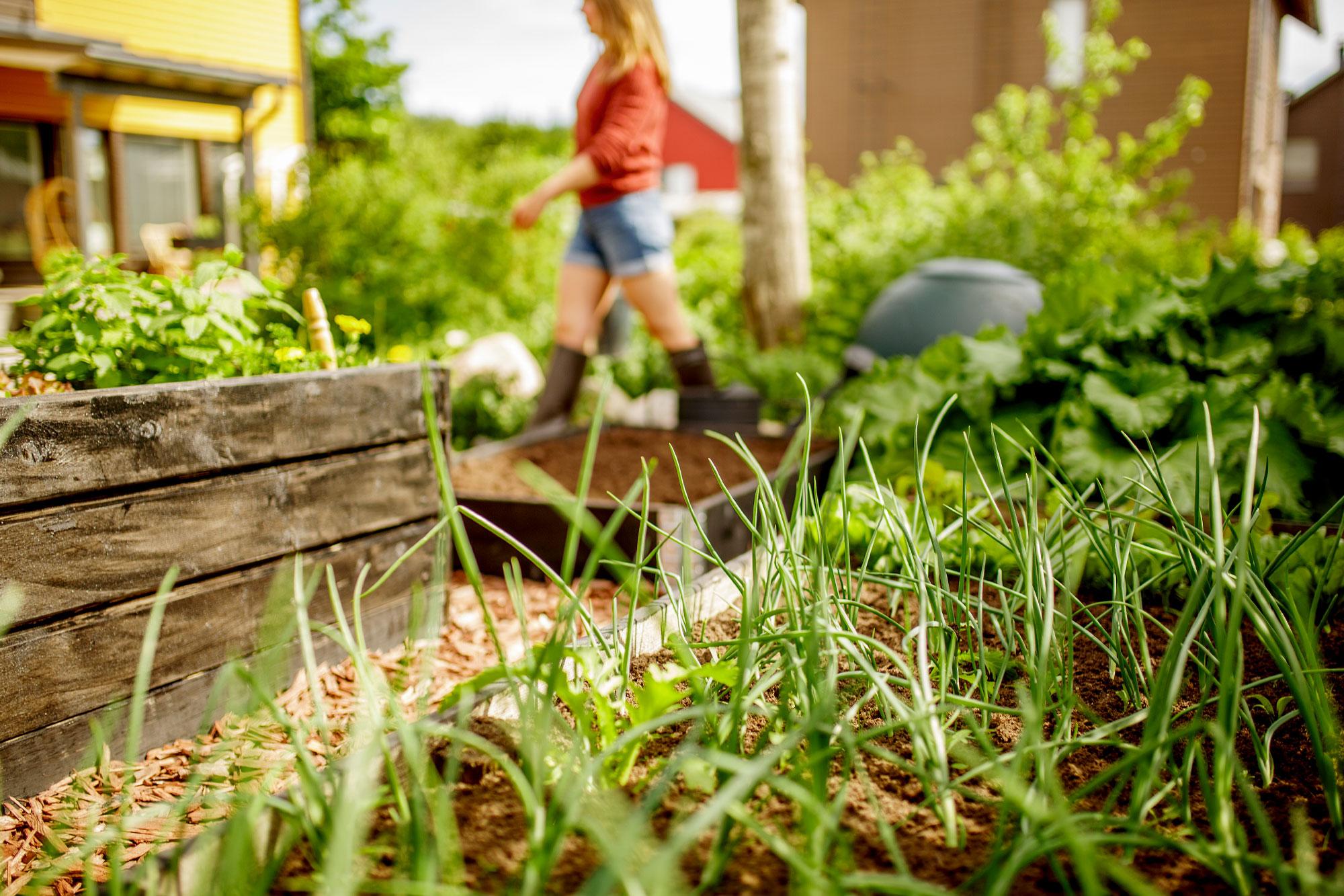 kasvimaan-kesälannoitus
