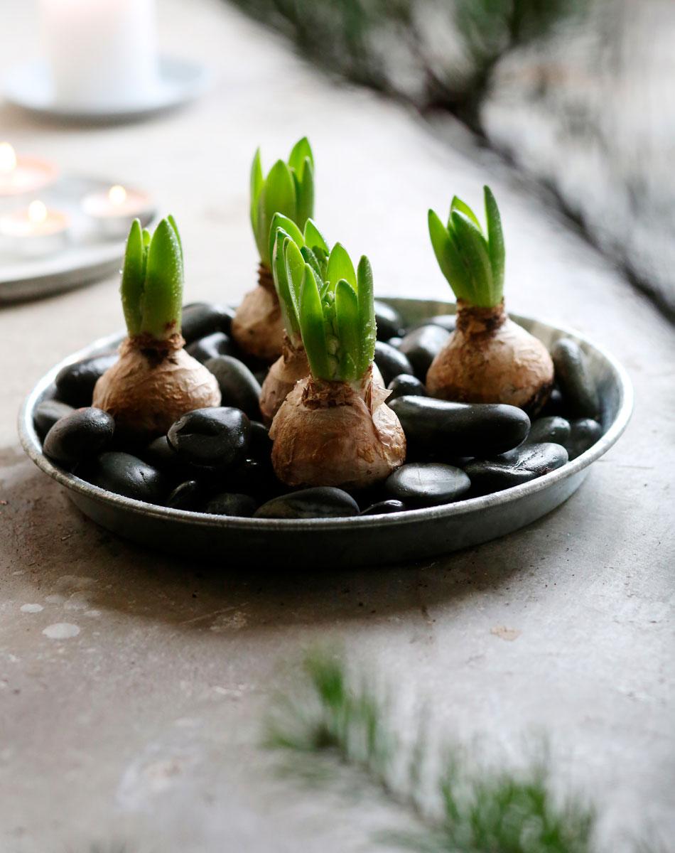koristekivet kekkilä hyasintti-istutus jouluteema
