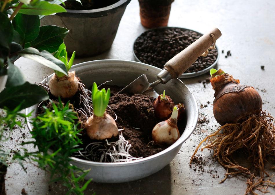 kukka-asetelma jouluinen hyasintti