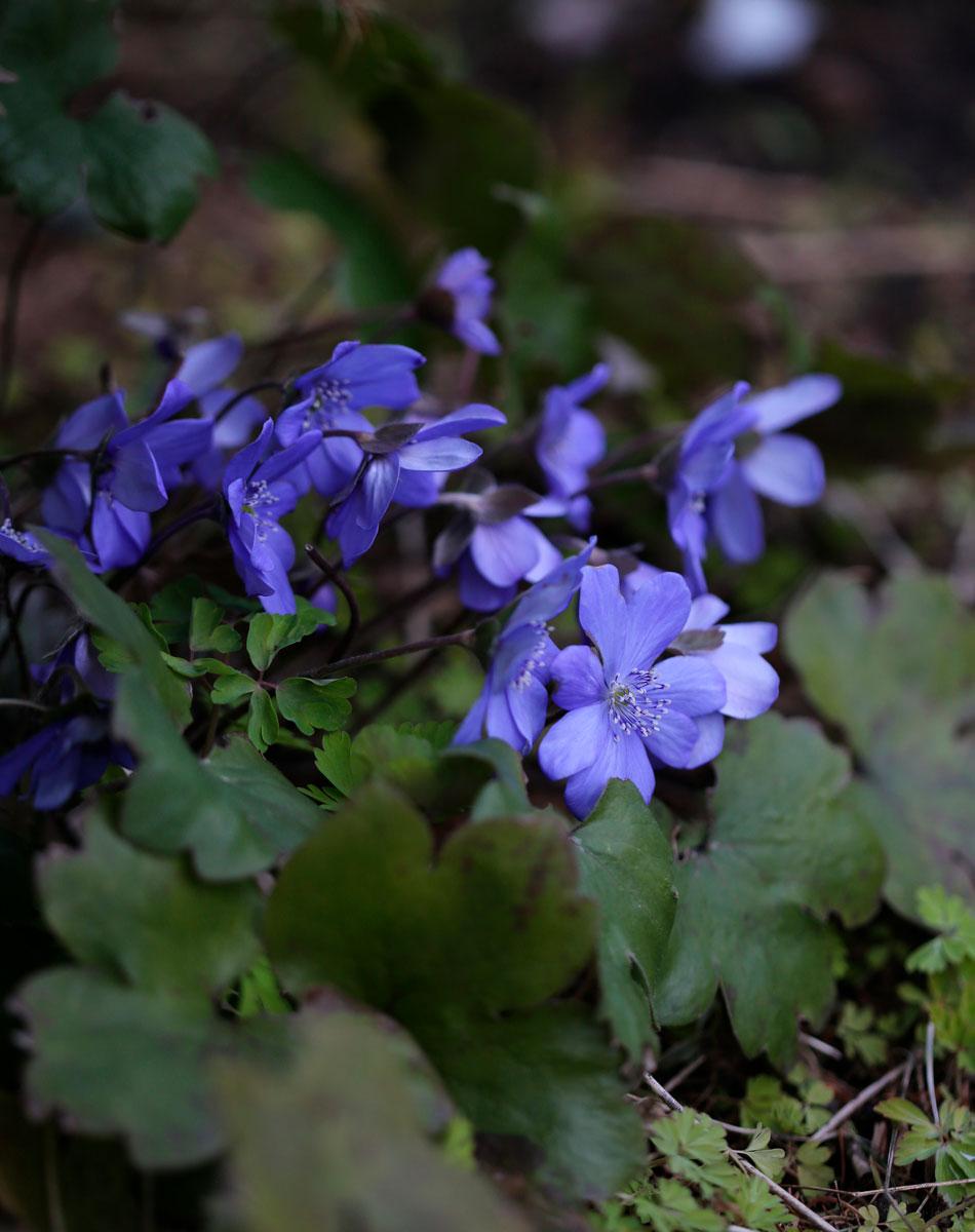 sinivuokko kukinta kasvupaikka varjossa