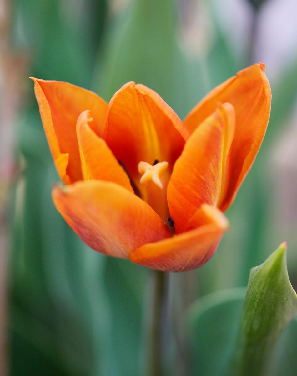 tulppaani kevät ruukussa