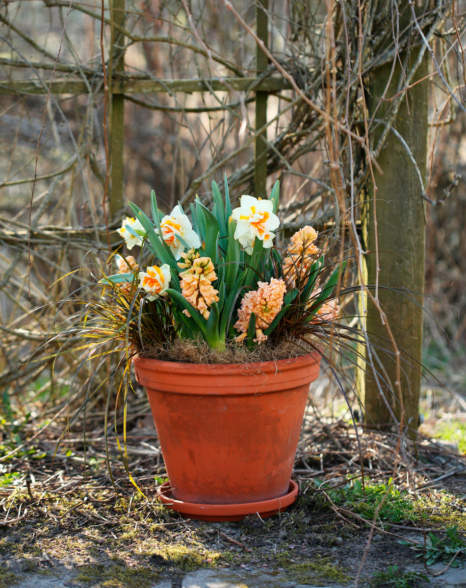 hyasintti narsissi kevätkukat ruukussa
