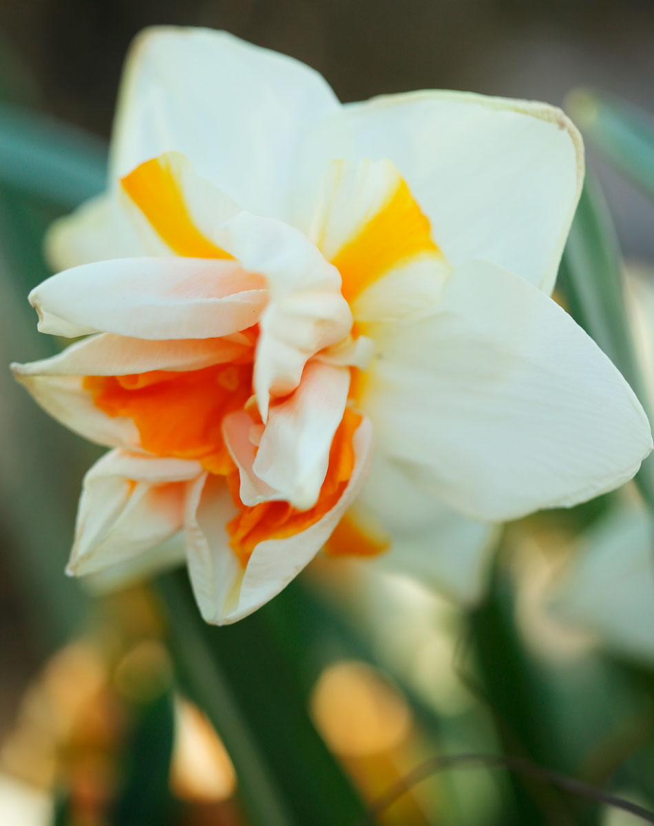narsissi kevätistutus vinkit ruukku