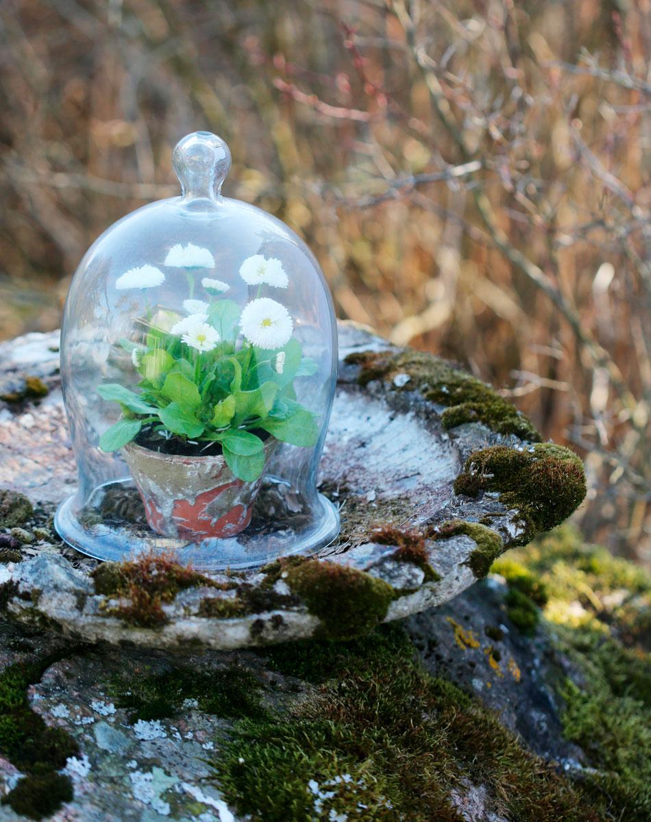 kaunokainen bellis lasikupu kevätkasvit ulkona