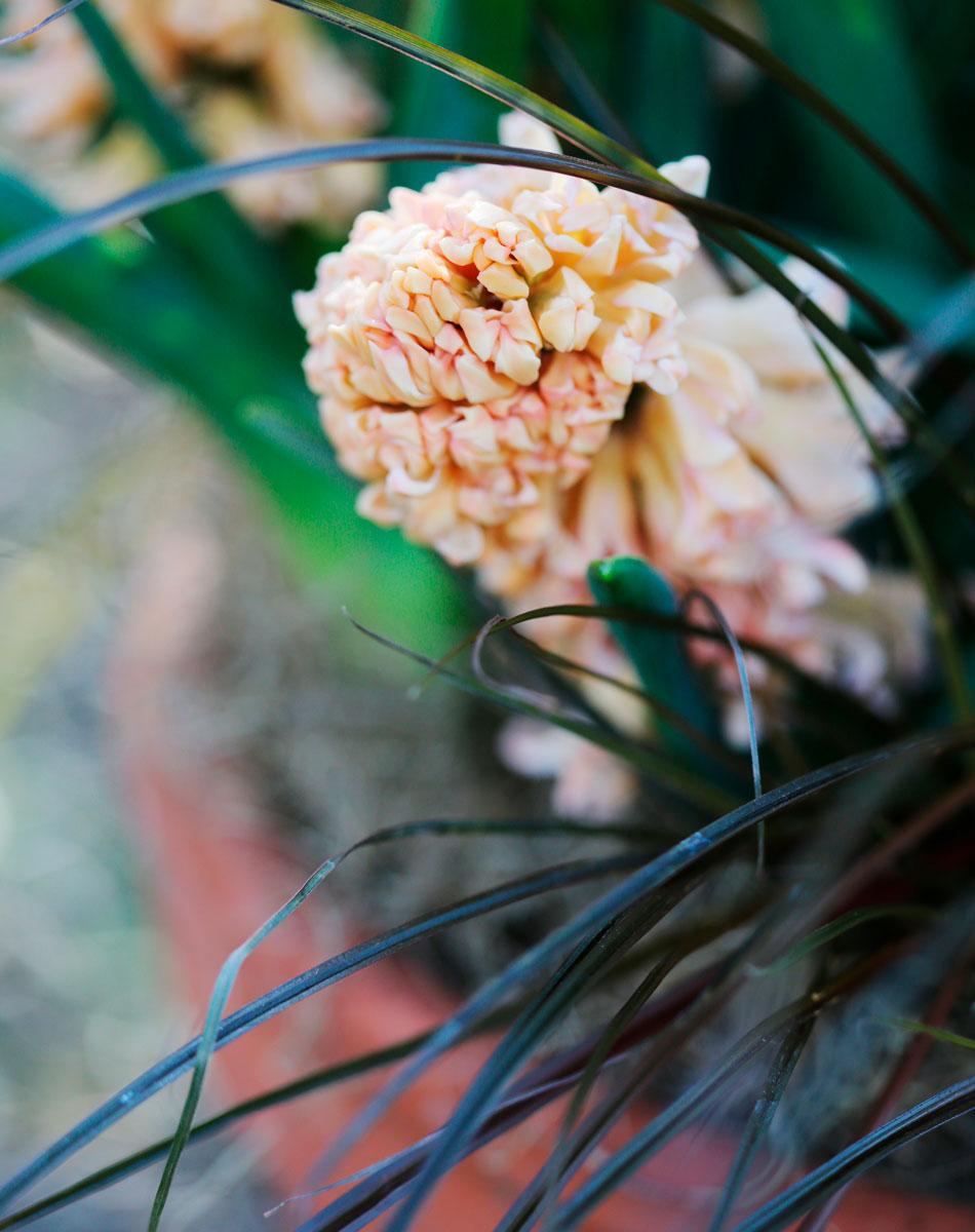 koristesara hyasintti kevään kasvit ruukkuihin