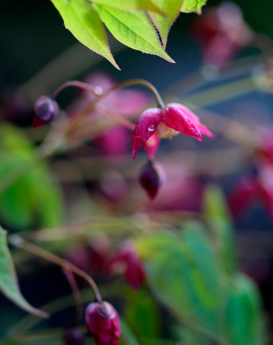 tarhavarjohiippa violetti purppura perenna