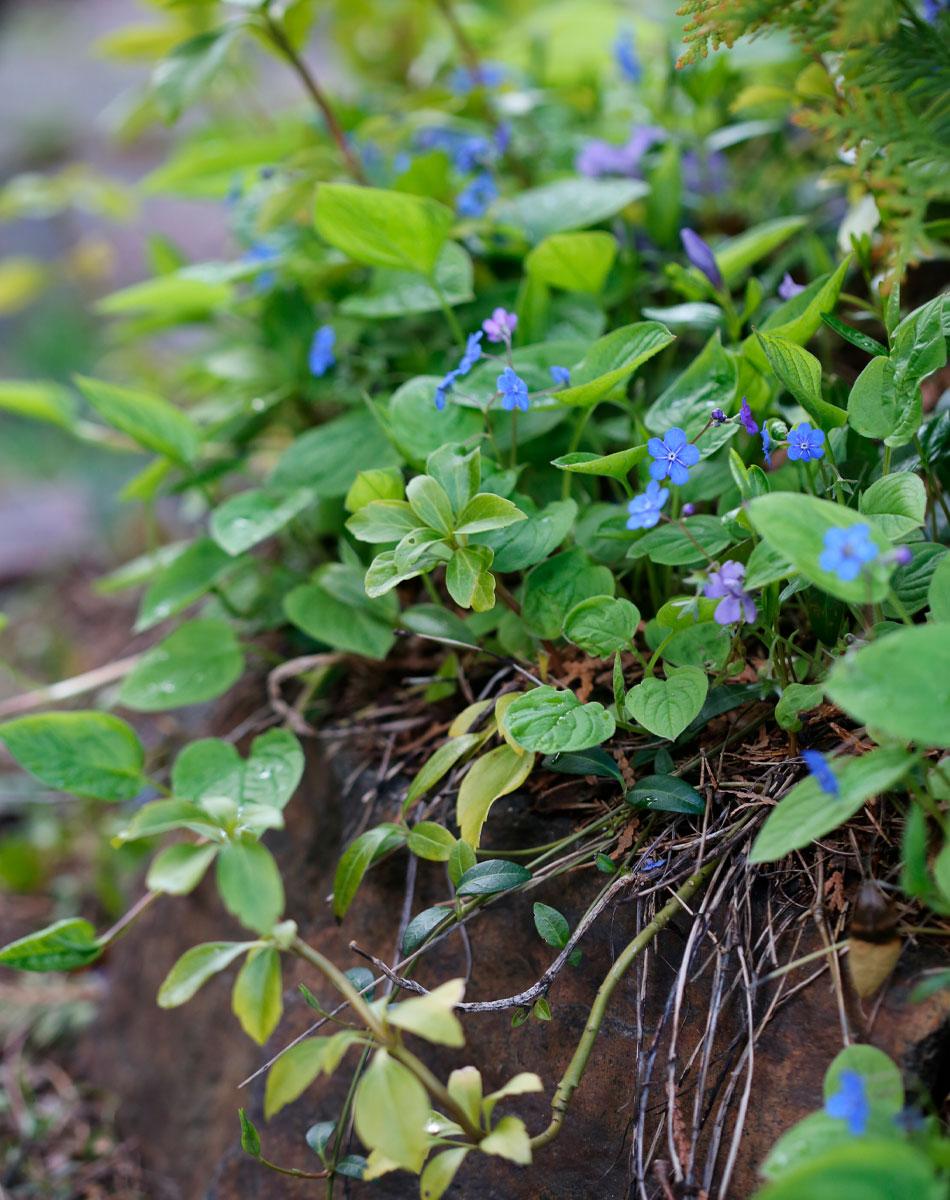 kevätkaihonkukka sininen perenna kevääseen