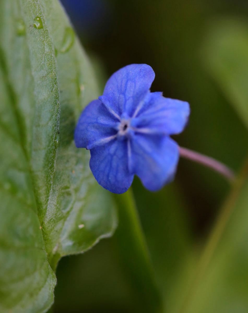 kevätkaihonkukka sininen kevätperenna