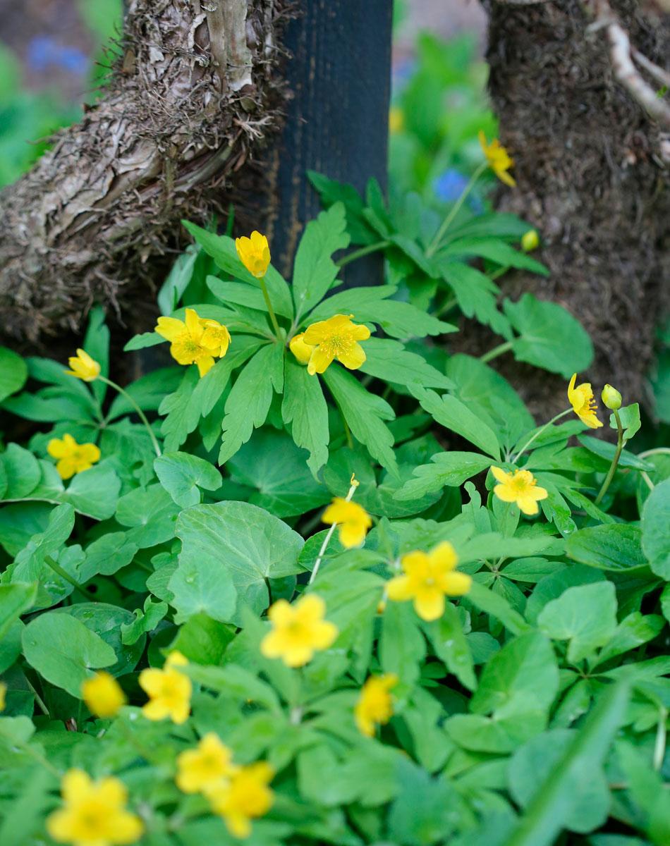 keltavuokko perennat kevät