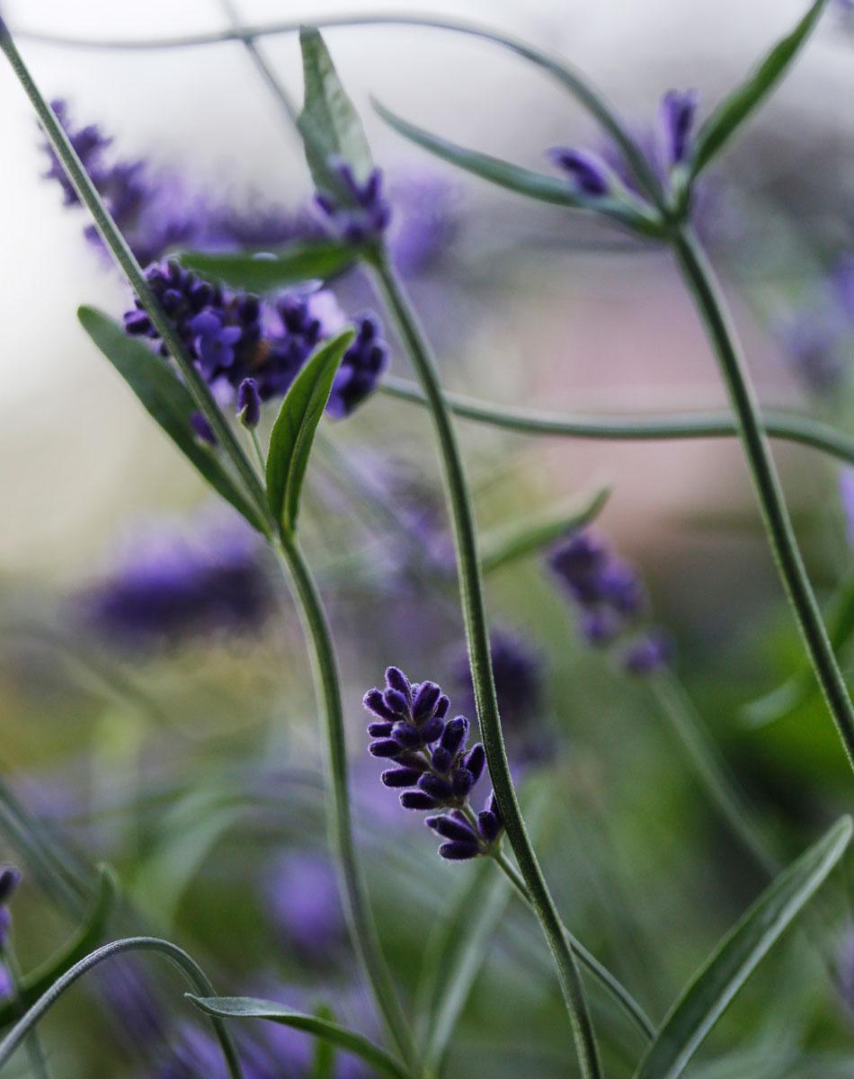 laventeli ruukkuistutus välimerellinen tunnelma puutarha